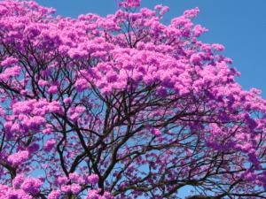 ipê-roxo-300x225 Dica de Fitoterapia Ocidental: Ipê Roxo — Especial Dia da Árvore