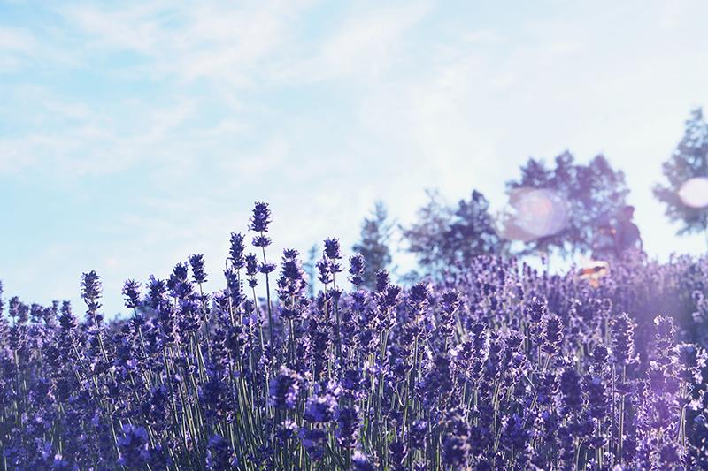 lavanda Aromaterapia: tratamento que vem da natureza — Especial Dia da Natureza